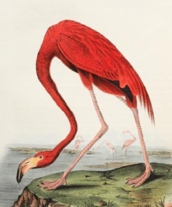 American Flamingo from Birds of America